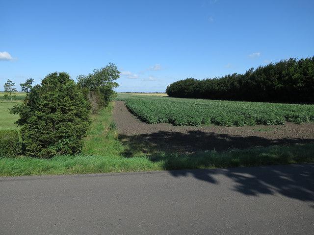 Potato field by Barroway Drove