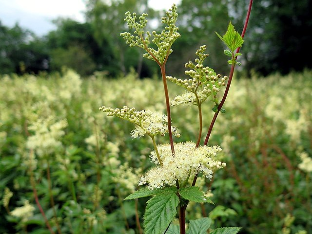 Meadowsweet (Filipendula ulmaria) by Humshaugh Burn