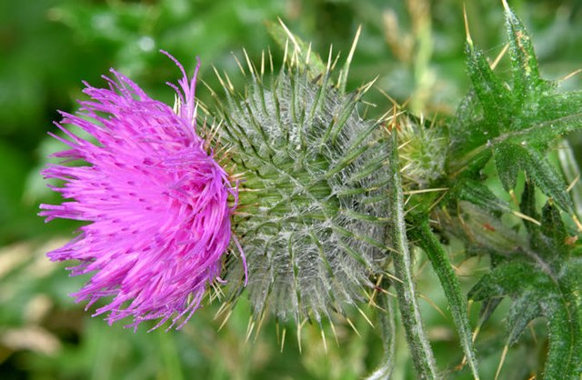 Thistle flower, Victoria Park, Belfast (July 2015)
