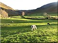NY2319 : Grazing sheep at Little Town by Graham Robson