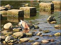 SE0754 : Feral  pigeon taking  a  drink  by  the  stepping  stones by Martin Dawes