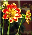 SU7456 : A dahlia in West Green House Gardens by Steve Daniels