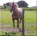 NJ6664 : Horse in paddock by Stanley Howe