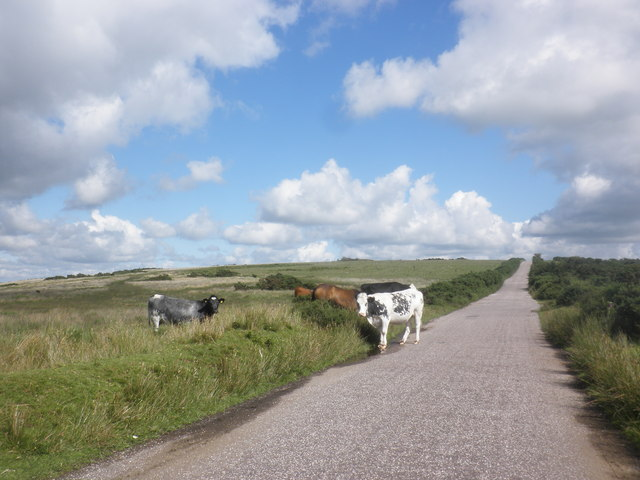 Cattle cross the road, on West Anstey Common
