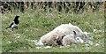 J4773 : Dead sheep, Newtownards (July 2015) by Albert Bridge