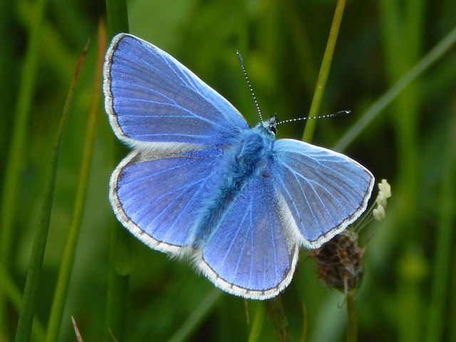 Common Blue butterfly at Pappert Hill