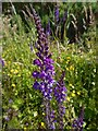 NS3679 : Purple Toadflax by Lairich Rig