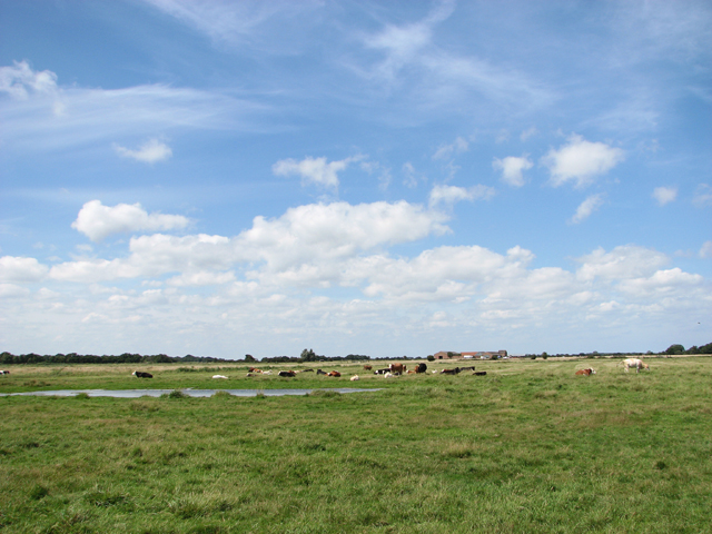 Cattle grazing on Heigham Holmes