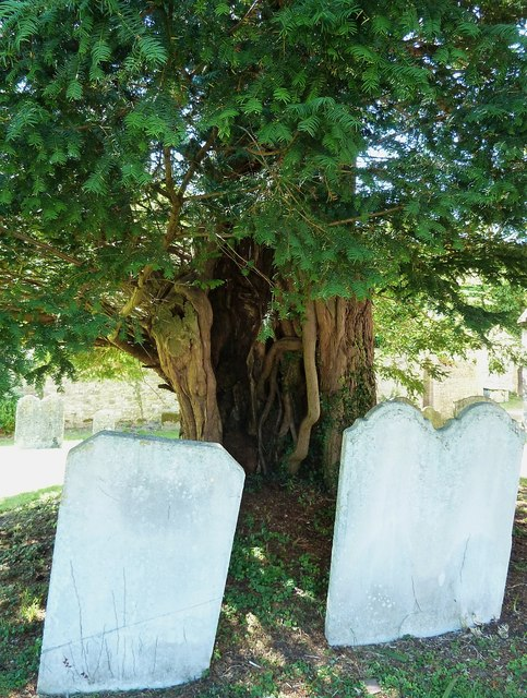 Amberley - Ancient Yew in churchyard