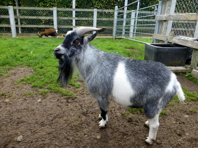 Billy goat, Tannaghmore Gardens