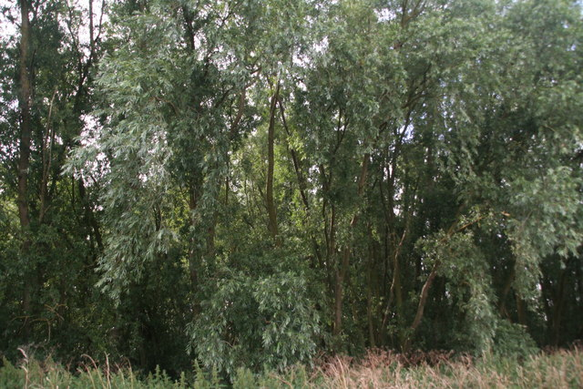 Willows between  Bedingham's Drove and the River Delph