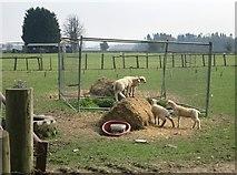 SU7989 : Lambs Playing Around by Des Blenkinsopp