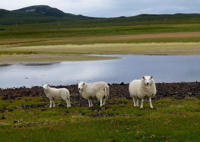 Sheep Beside The Allt Loch Raa