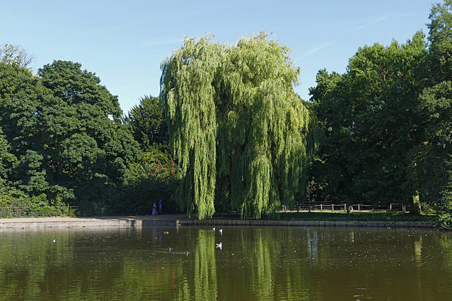 Weeping Willow, Osterley Park