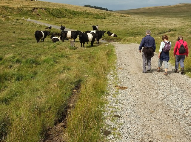 Belted Galloways by the military road