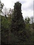 SN7079 : Ivy everywhere by Rudi Winter