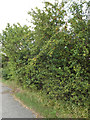 TM3968 : Plum Bush off the A12 Main Road by Adrian Cable