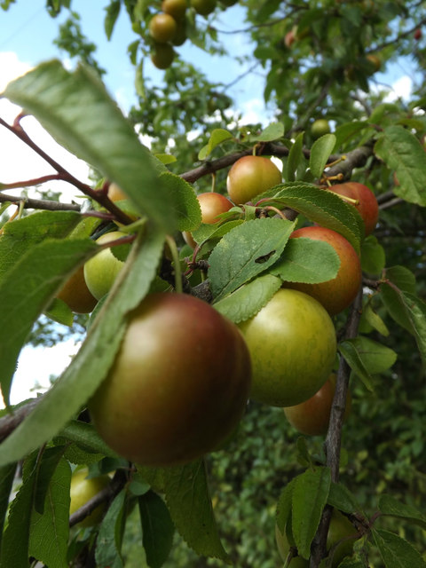 Plum Fruit off the A12 Main Road