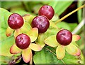 J4180 : Tutsan berries, Cultra (August 2015) by Albert Bridge