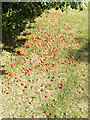 TL0652 : Plums on the ground in Mowsbury Park by Adrian Cable