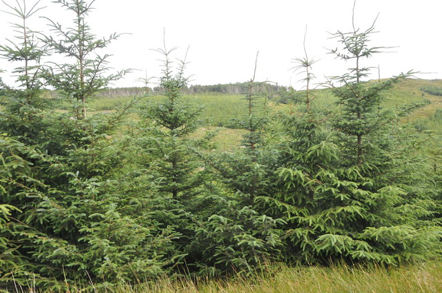 Forest, West of A'Chruach, Kintyre