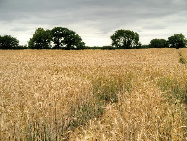Cornfield near Swaffham