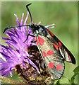 J4173 : Burnet moth, Comber Greenway, Dundonald (August 2015) by Albert Bridge