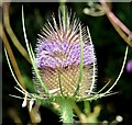 J4173 : Teasel flower, Comber Greenway, Dundonald - August 2015(1) by Albert Bridge