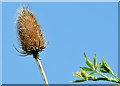 J4173 : Teasel flower, Comber Greenway, Dundonald - August 2015(2) by Albert Bridge