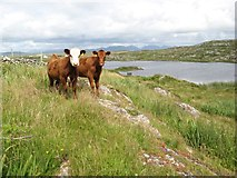 L5744 : Connemara calves by Jonathan Wilkins