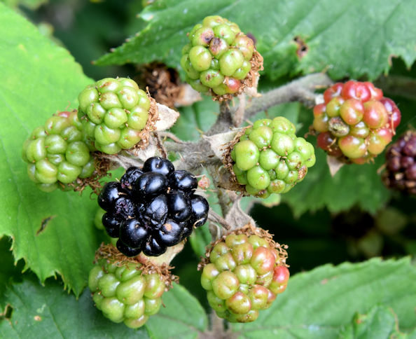 Blackberries, Belfast (August 2015)