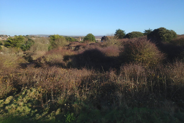 Thorn scrub with exotic evergreen trees, north side of Seaford Head