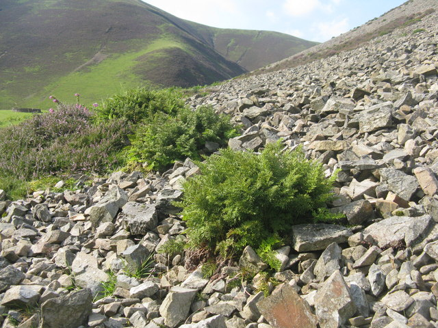 Parsley Fern in the Mennock Pass
