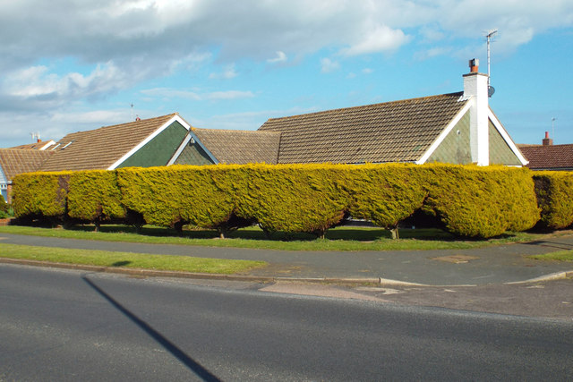 Clipped hedge of golden yew, corner of Upper Belgrave Road and Ridgeway, Seaford