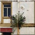 SJ8990 : Buddleia on Avenue Street  by Gerald England