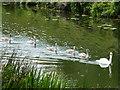 TL0894 : A family of swans near Elton by Richard Humphrey