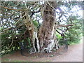 TQ7512 : The largest yew tree in Sussex by Marathon