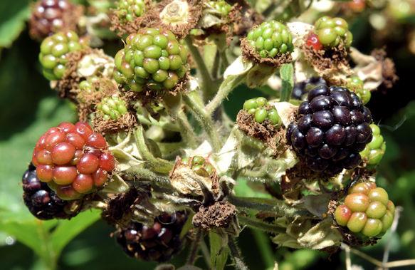 Blackberries, Lagan towpath, Stranmillis, Belfast (August 2015)