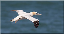TA1974 : Gannet, Bempton Cliffs, Yorkshire by Christine Matthews