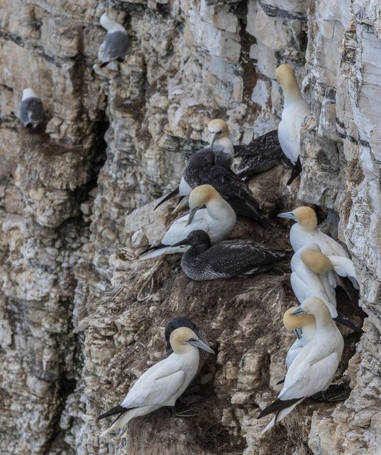 Gannets and Kittiwakes, Bempton Cliffs, Yorkshire