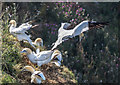 TA1874 : Gannets, Bempton Cliffs, Yorkshire by Christine Matthews