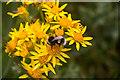 TA1281 : Bee on Ragwort on the Cliffs at Filey Brigg, Yorkshire by Christine Matthews