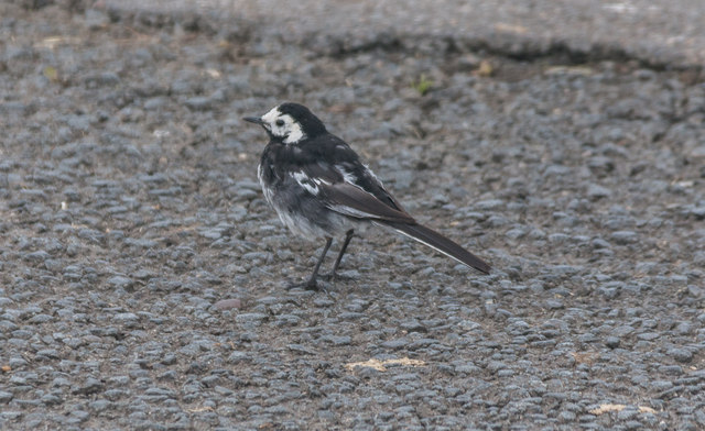 Pied Wagtail, North Cliff Country Park, Yorkshire