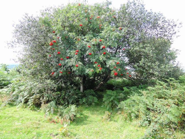 Mardon Down: Rowan tree