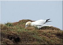 TA1974 : Gannet  looking  for  nesting  material  (2)  Bempton  Cliffs by Martin Dawes
