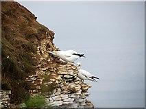 TA1974 : Gannets  on  Bempton  Cliffs by Martin Dawes
