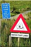 NG3151 : Watch that lamb! by Tiger