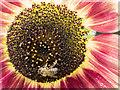 TQ1478 : Sunflower with Bee, Kitchen Garden, Osterley Park, London by Christine Matthews