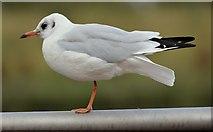 J3473 : Black-headed gull, River Lagan, Belfast - August 2015(2) by Albert Bridge