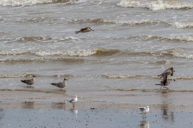 Gulls at Clacton, Essex